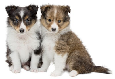 sheltie puppies sitting